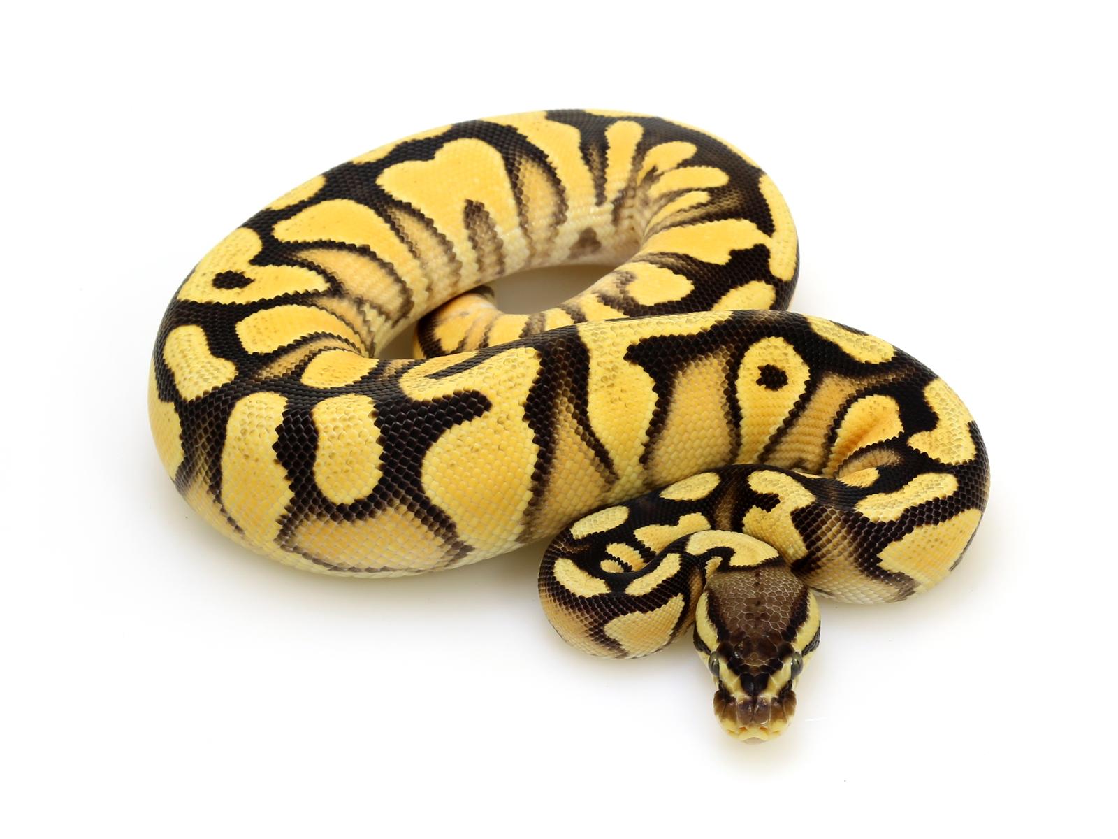 Super Orange Dream Yellow Belly