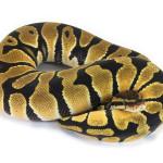 Ball Python, Orange Dream