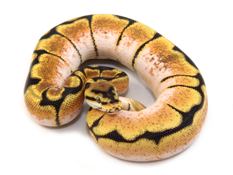 ball python, orange dream spider
