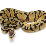 ball python, blade pastel