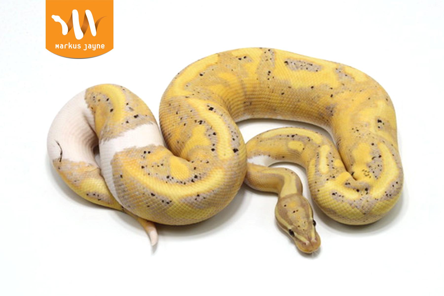 Piebald Orange Dream Banana Java – M – '20