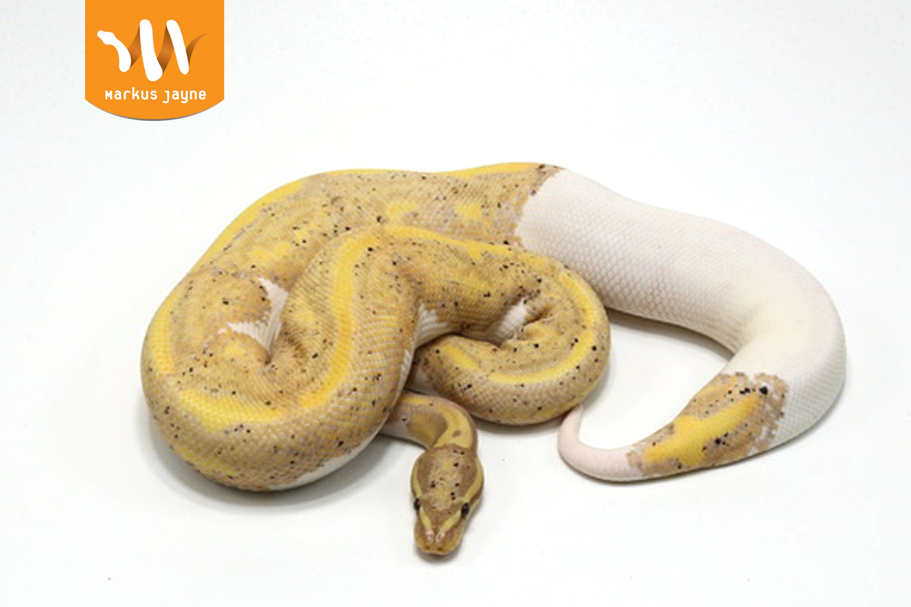 Piebald OD Banana Yellow Belly – M – '20