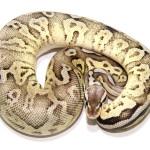 ball python, pewter fire