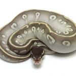 ball python, phantom mojave