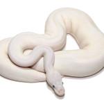 ball python, russo mojave