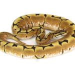 ball python, spider