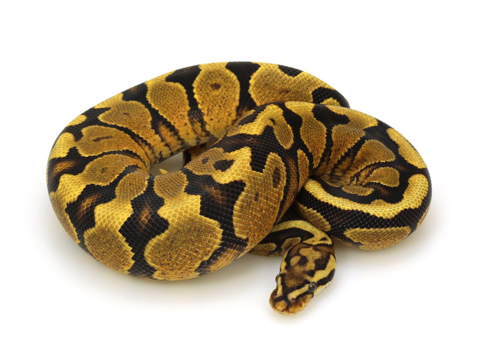 Spotnose Yellow Belly