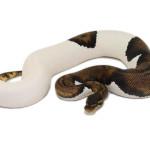 ball python, super java piebald