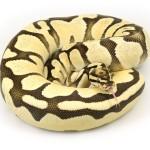 ball python, super orange dream fire