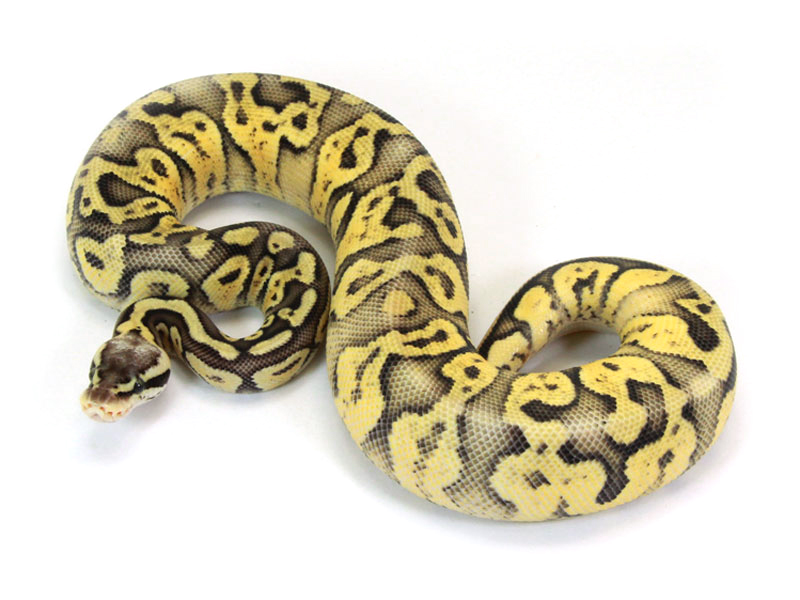 Super Pastel Yellow Belly