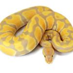 ball python, toffee