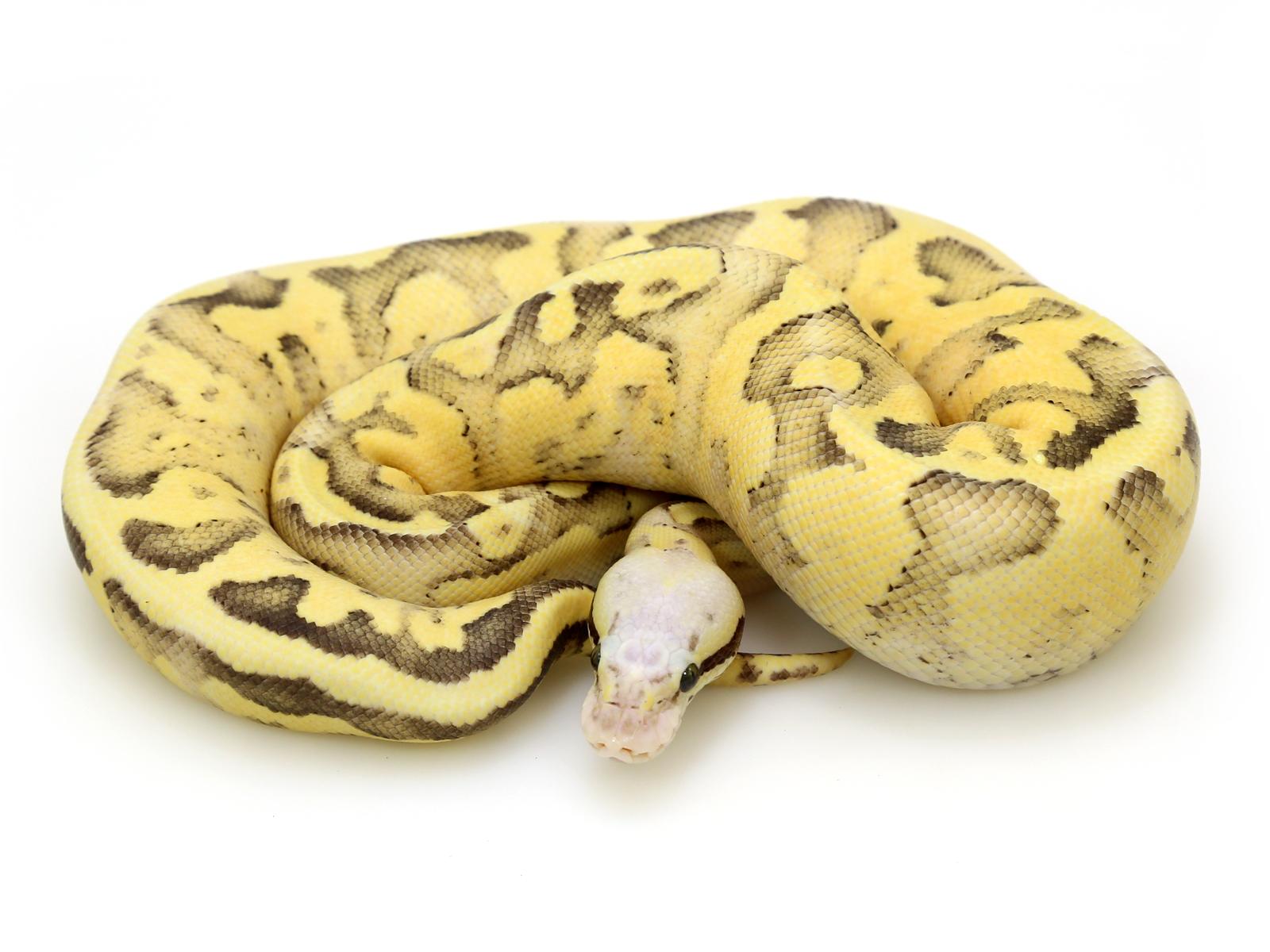 Vanilla Pastel Disco Sulphur