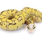 Ball Python, Vanilla Pastel Sulphur