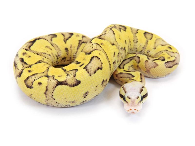 Vanilla Pastel Sulphur