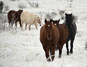 Kristy Horse herd