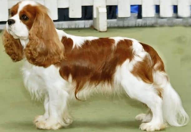 Best dog for first time owners 5. Cavalier King Charles Spaniel