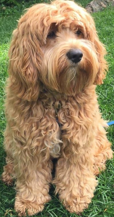 The Cockapoo # 7 on best dogs for first time owners