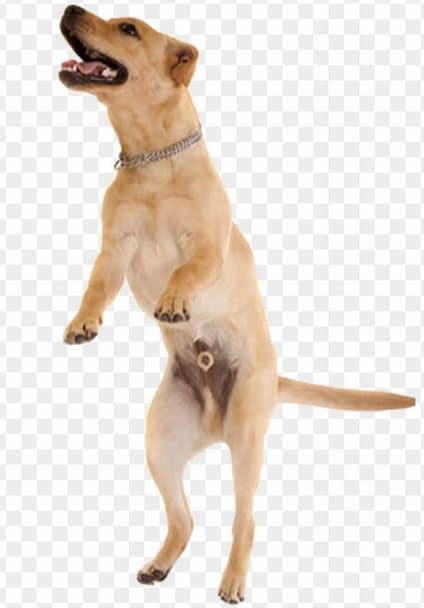 Labra Having a big jump - Dogspeaking