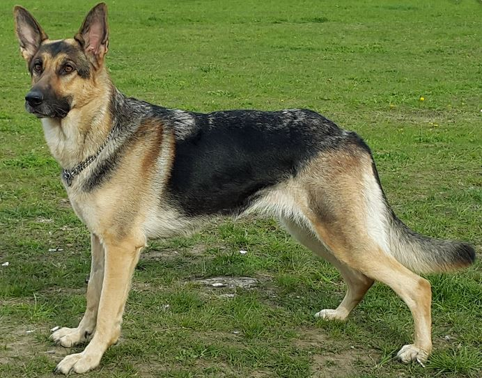 Last but not least on the 10 best dogs is the German Shepherd