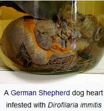 When to take a dog to the vet. Heartworm in a German Shepherd. Dogspeaking.com