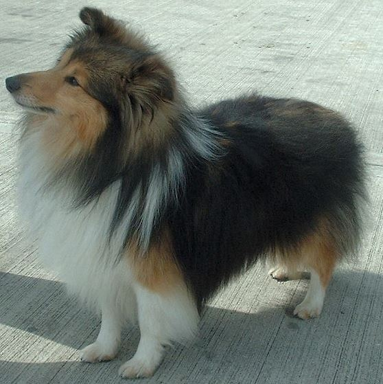 Best dog for first time owners 6 - Shetland sheep dog