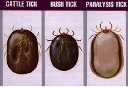 How to recognise the Australian paralysis tick. When to take dog to the vet The Australian Paralysis tick and 2 other common ticks - Dogspeaking