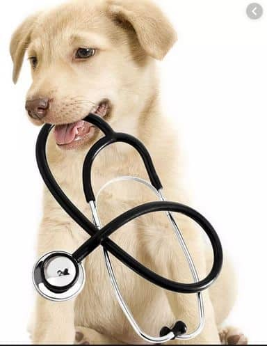 When to take dog to vet -Labrador puppy with stethescope - Dogspeaking.com