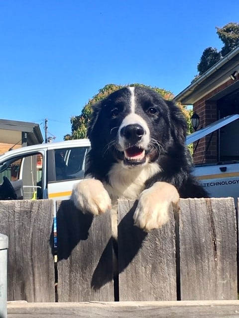 Border collie looking over fence - dogspeaking.com