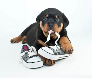 Puppy chewing shoe - dog training - dogspeaking.com