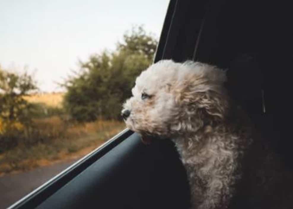 dog harness for car - little dog in the back -dogspeaking.com