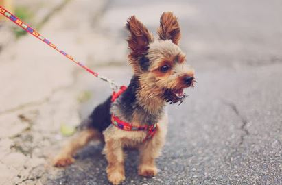 dog training Teching your dog to walk on a leash