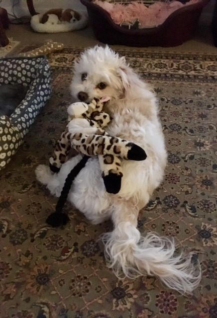 Little Malt with her favorite tug toy