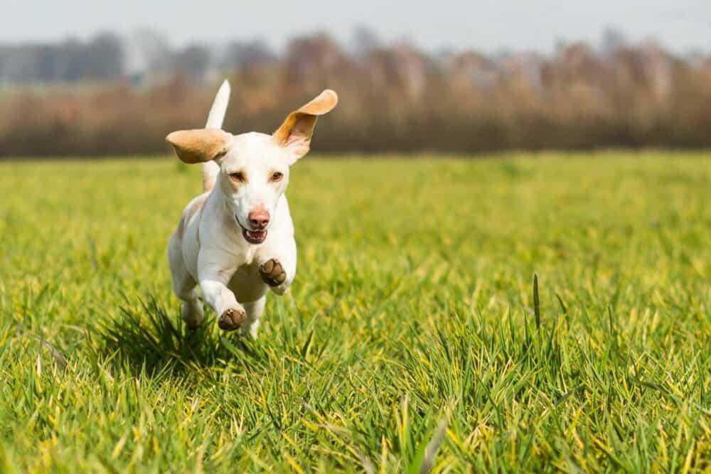 dog running, best dog houses-dogspeaking.com
