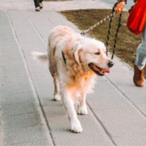 How often should you walk your dog? Labra going for a walk