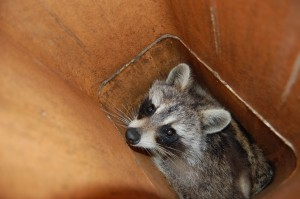 Raccoon in a chimney flue tile