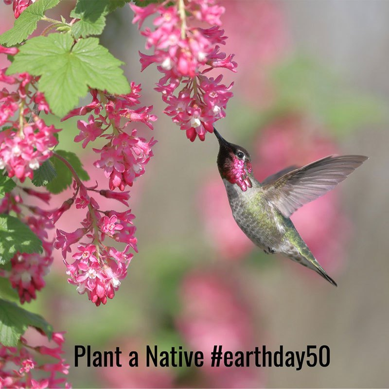 male-annas-hummingbird-feeding-on-red-flowering-currant-picture-id982873918