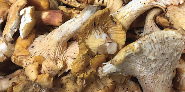 Foraging Chanterelle Mushrooms