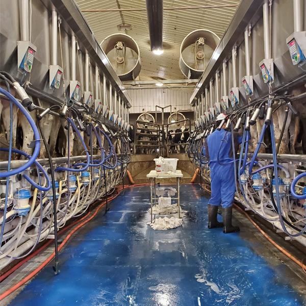 stettler alberta dairy milking operation