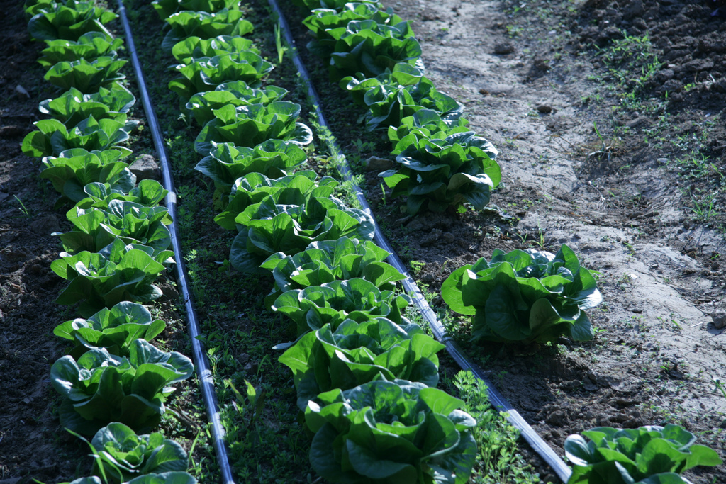 Irrigated Lettuce