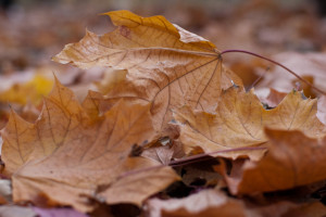 Close-up of several brown autumn leaves with dried surface, fallen on the ground above other such leaves.