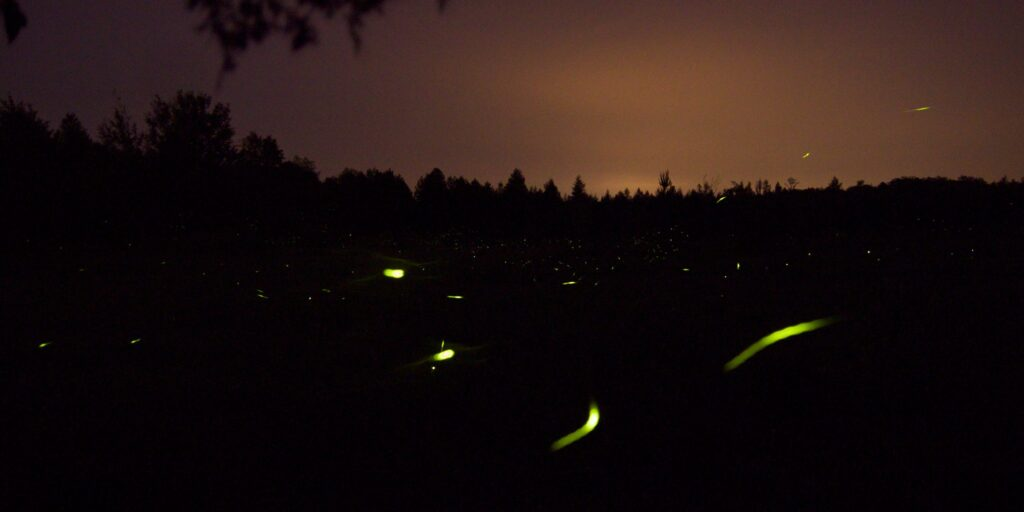 Fireflies facing extinction