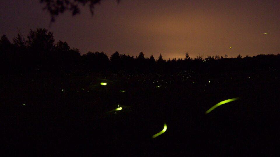 Fireflies facing extinction
