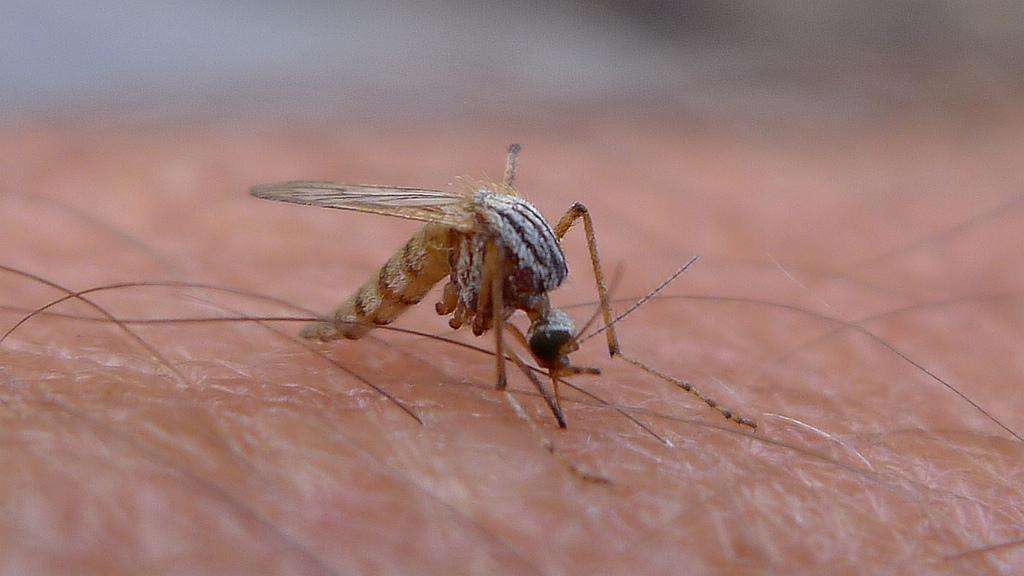 Engineering mosquitoes to repel disease