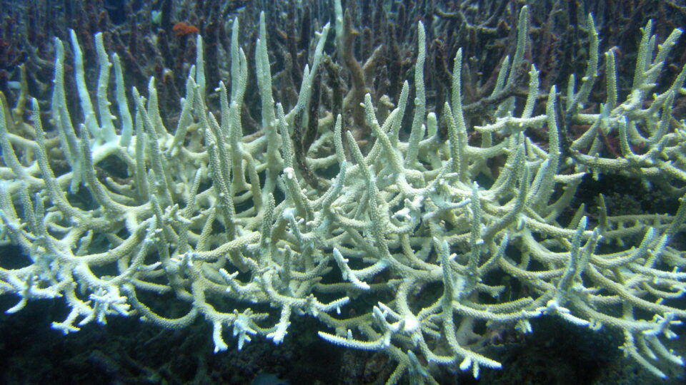 warming and acidifying oceans may eliminate corals