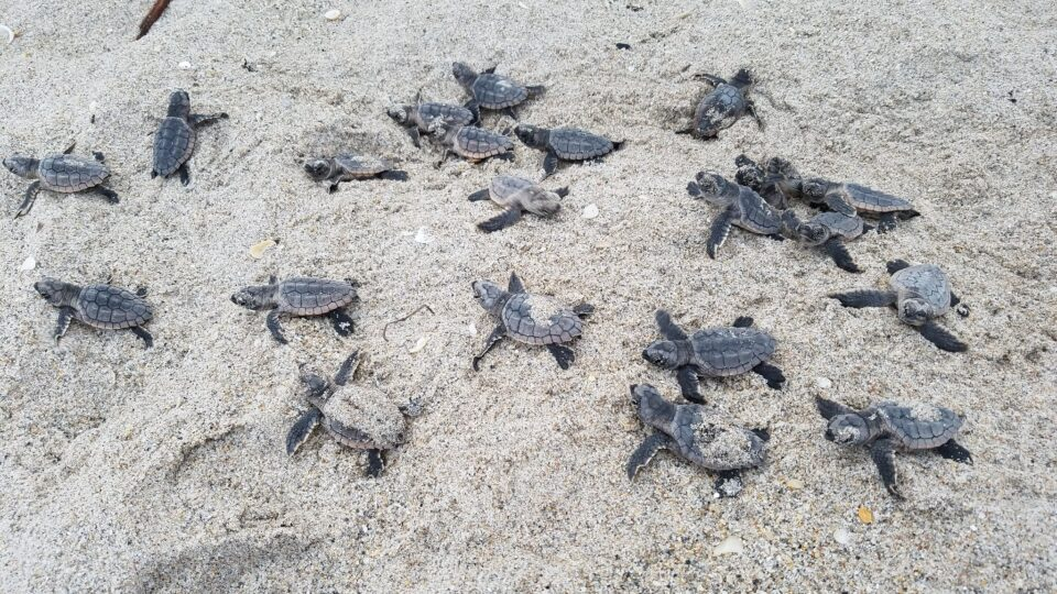 Sea turtles thriving during Coronavirus shutdown