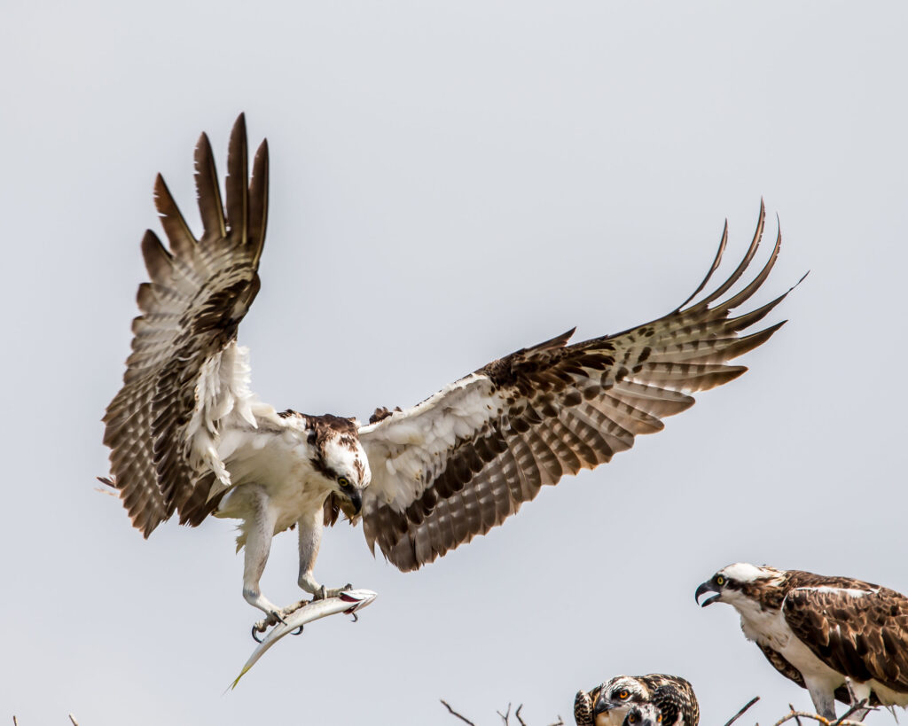 Microplastics found in Florida's birds of prey