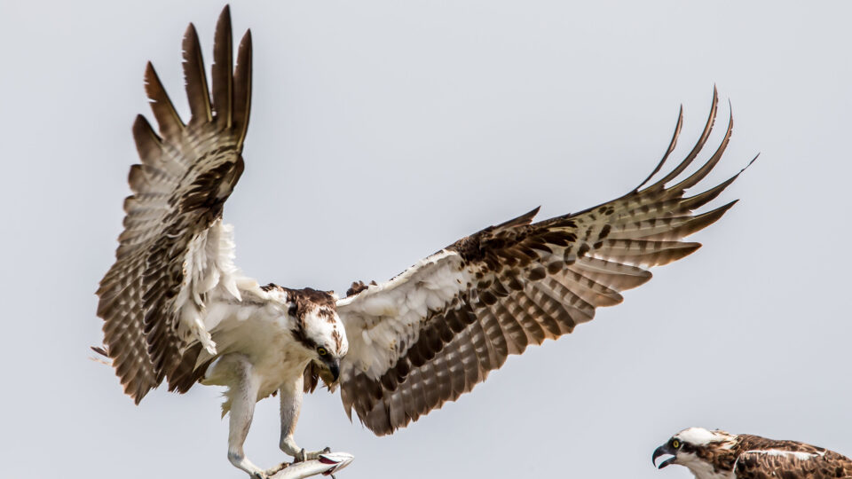 Microplastics found in Florida's birds of prey