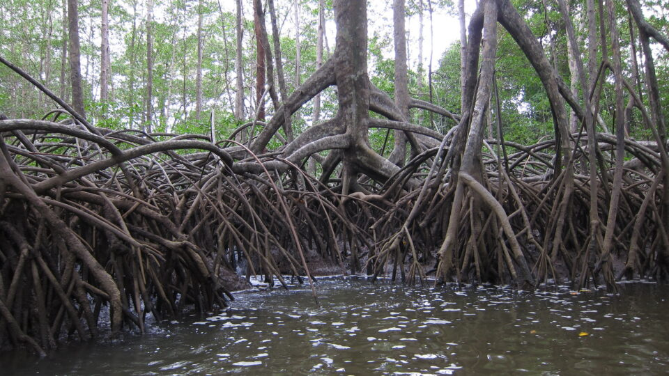 climate change threatens mangrove trees