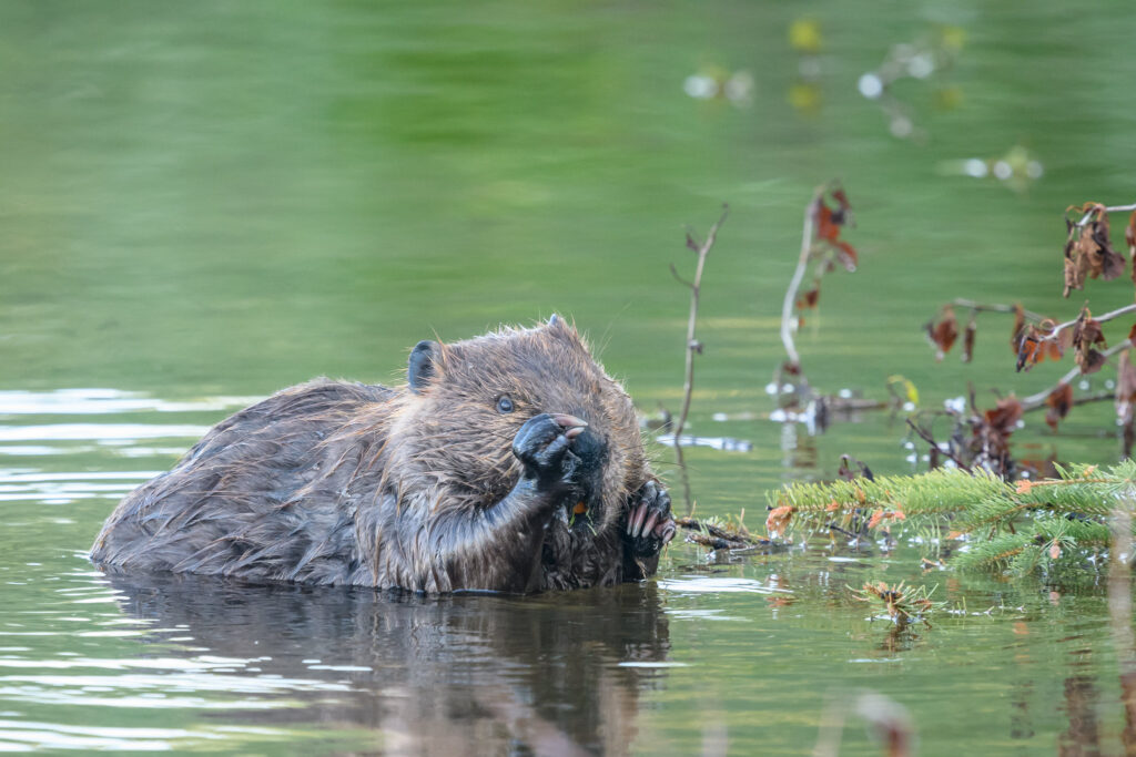 Beavers are accelerating climate change