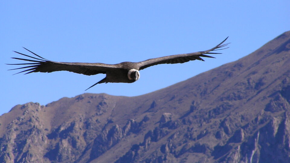 The recovery of condors